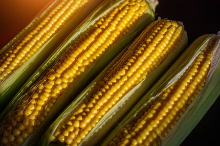 Fresh corn cobs, close up. Appetizing cobs of ripe yellow corn with green leaves in sunlight, top view. Organic food, healthy lifestyle.