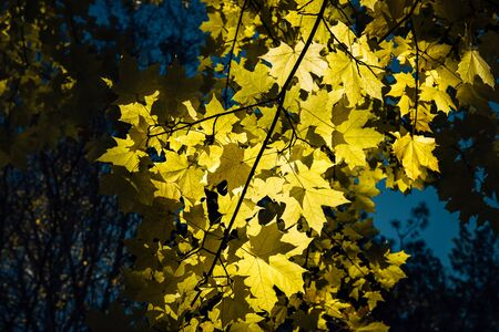 Bright yellow maple leaves against a twilight sky on autumn evening. Maple branches, close-up. Natural background, Wallpapers.