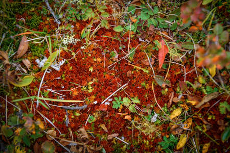 Amazing red moss in mountain forest, close-up. Rich flora of highlands. Natural plant backgrounds. 版權商用圖片 - 154876133