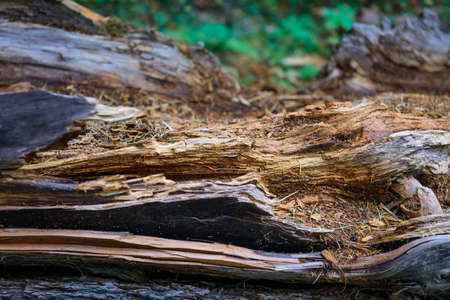 Rotten tree, close-up. Decomposing wood, selective focus. Natural wooden background.