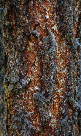 Vertical close-up image of tree bark. Fancy drawing on the trunk of a pine tree. Natural background. 版權商用圖片