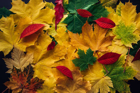 Beautiful background with fall leaves. Bright autumn still life. Autumn colors concept. Red, green and yellow canadian maple leaves. 版權商用圖片