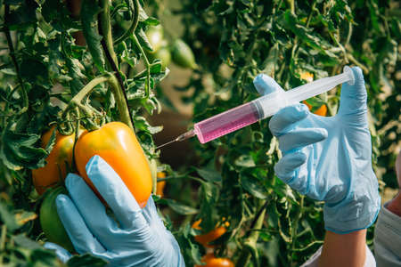 Pesticides used in food. Scientist's gloved hand sticks a syringe of liquid into tomatoes hanging on branch, close-up. Non organic vegetables. Genetically modified farming concept.