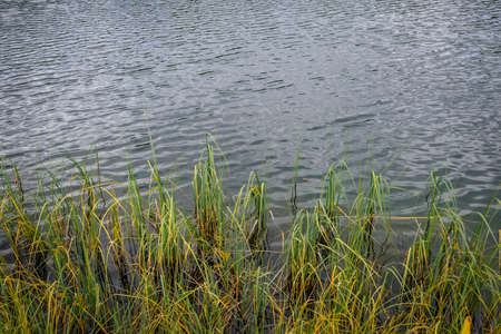 Bank overgrown with grass, close-up. Reeds on the river. Green grass in gray water. Silting up the bottom of lake. Natural background.