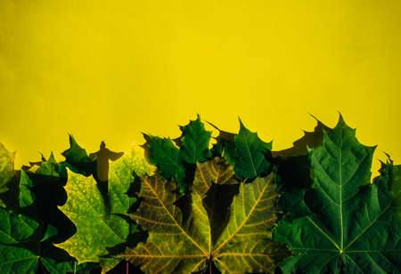 Set of yellow-green canadian maple leaves isolated on yellow background. Colorful horizontal image of autumn foliage with space for text.