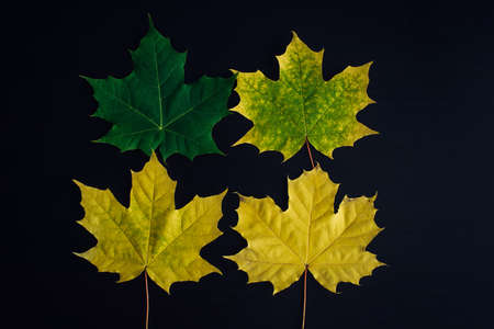 Canadian maple leaves on black background. Four maple leaves in different colors. From green to yellow. From young to old. Set of leaves for design of herbarium. 版權商用圖片