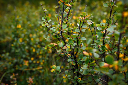 Shrub with green and yellow leaves, close-up. Branches with autumn leaves, soft focus. Plant background. 版權商用圖片