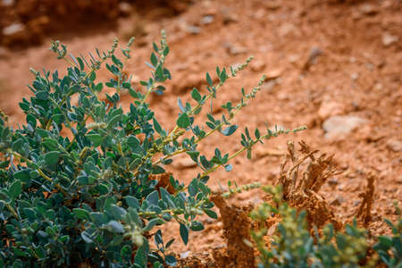 Small green bush on red clay dry soil in the mountains, close-up. Amazing flora of the Asian steppes. Natural backgrounds. 版權商用圖片