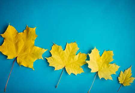 Yellow maple leaves on blue background, top view, close up. Image for design, autumn concept. Copy space.