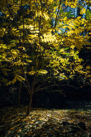 Tree with yellow leaves in bright sunlight. Autumn day in park. Indian summer. Beautiful natural background.
