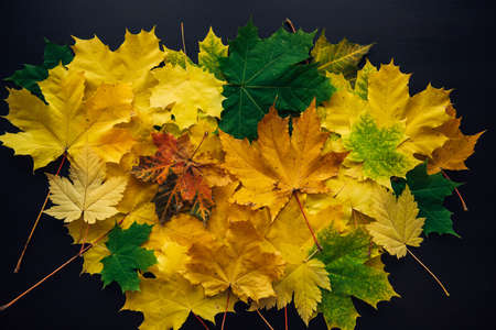 Heap of green and yellow maple leaves on black background. Autumn concept, color gradient, image for design.