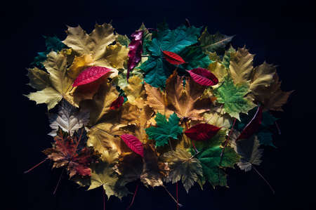 Heap of colorful autumn leaves, close-up. Bright foliage on black background. Collecting leaves for the herbarium. Autumn concept.