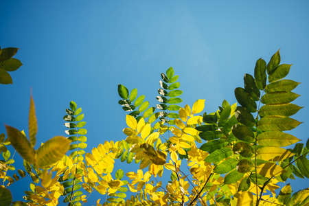 Yellow and green fall leaves against a clear blue sky in the sunlight. Autumn greeting card with space for text. Bright foliage on light blue background.