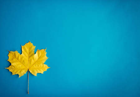 One yellow maple leaves on blue background, top view, close up. Image for design, autumn concept. Copy space.