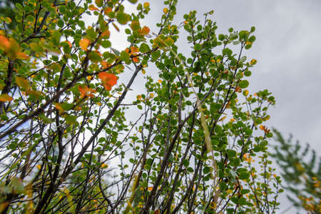 Branches of shrub with green and yellow leaves against cloudy sky on autumn day. Natural plant background, selective focus. 版權商用圖片