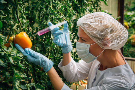 Female scientist in mask and gloves injects chemicals into tomatoes hanging from branches in a greenhouse, close up. Genetically modified vegetables concept. GMO and pesticide modification. Banco de Imagens