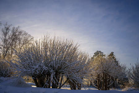 Quaint low-growing trees with sharp branches, covered with snow in the sunlight against a soft blue sky. Peaceful winter landscape. 免版税图像 - 157890174