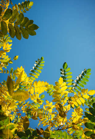 Yellow and green fall leaves against a clear sky in the sunlight. Autumn greeting card with copy space. Bright foliage on light blue background. Vertical image.