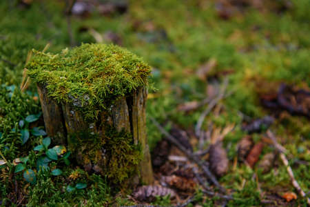 Stump covered with wet green moss in a dense forest, close-up, soft focus. Taiga vegetation, natural background. Copy space.