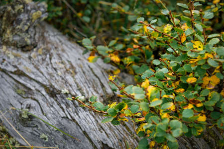 Branch with yellow and green autumn leaves on the background of an old tree, close-up, soft focus. Beautiful natural background, photo wallpaper.