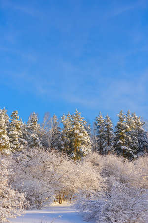 Trees covered with snow in the sunlight against blue sky in a deserted park. Christmas frosts. Winter forest background with copy space.