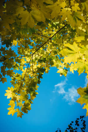 Canadian maple tree branches with fall yellow leaves against clear blue sky in sunlight. Colorful autumn background with copy space. Autumnal concept.