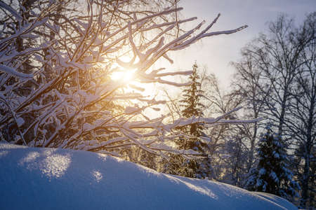 Sunset in the winter forest. The sun's rays break through the snow-covered trees. Picture of winter calm. Natural background.