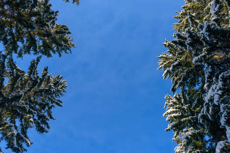 Crown of fir trees covered with snow against clear blue sky on sunny winter day. Spruce branches under white snow. Image for a new year greetings card with copy space.