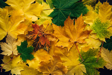 Autumn colorful leaves close up. Vibrant maple tree foliage. Collection of different fall leaves, texture background. 版權商用圖片