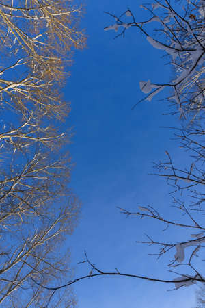 Snowy crowns of birches on the background of cloudless blue sky. Bare branches of trees in winter forest. Abstract natural background with copy space.