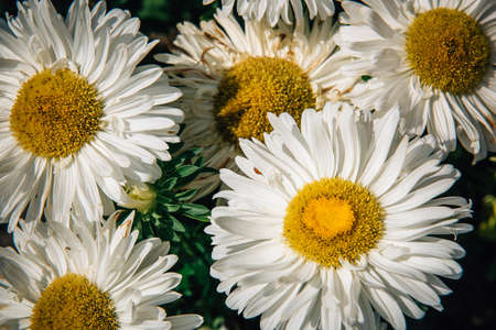 Garden chamomile close-up. Large flowers with yellow center and white petals. Concept of gardening. Flower background.