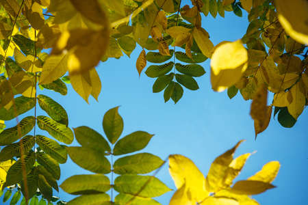 Yellow autumn foliage against a clear blue sky on sunny day. Tops of the trees with yellow-green leaves. Autumn background with copy space. 版權商用圖片
