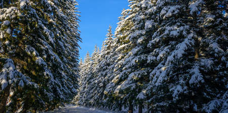 Shaggy fir trees covered with snow against clear blue sky on sunny winter day. Spruce branches under a thick layer of white snow. Copy space. 版權商用圖片