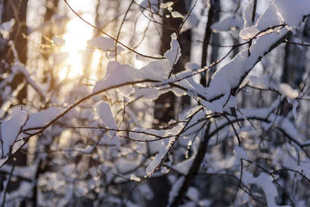 Close-up view of bare tree branches covered with snow on a frosty sunny day. Snowy branches with ice crystals in sunlight. Winter background. 版權商用圖片