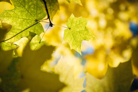 Autumn yellow maple tree foliage in sunlight close up. Soft focus, blurred background, copy space.