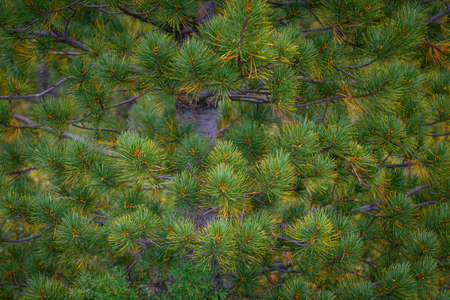 Green spiny branches of pine close-up. Full frame image coniferous branches. Christmas fir tree background. Beautiful winter backdrop, copy space.