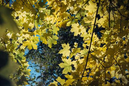 Autumn yellow leaves in sunlight close up. Vibrant maple tree foliage. Beautiful autumnal background. 版權商用圖片