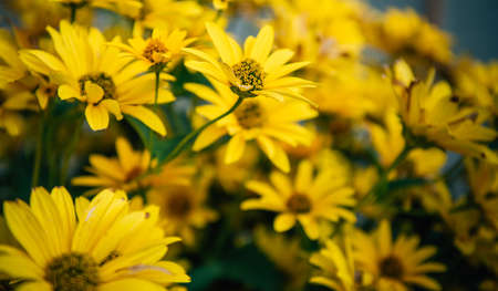 Large yellow garden flowers, close-up. Yellow daisies, selective focus. Flower backgrounds. Gardening.