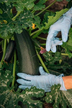 Biologist 'hands in blue gloves holding a syringe, close-up. Scientist injects fertilizer into zucchini for rapid growth. Concept of genetically modified non organic vegetables.