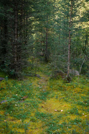Forest thicket, ground covered with wet moss, trees grow thickly. Magical coniferous forest on sunny summer day. Beautiful natural background, soft focus, close-up, wallpaper.