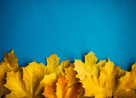 Heap of yellow maple leaves on blue background, top view, close up. Image for design, autumn concept. Copy space. 版權商用圖片