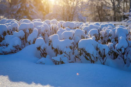 Plants covered with snow in deserted park after a snowfall. Snowflakes glisten in the sun. Beautiful winter background. 版權商用圖片