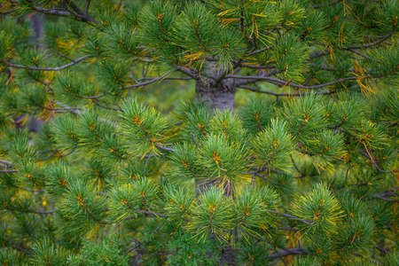 Spruce or pine tree close-up. Green prickly branches of a coniferous tree as natural background. Christmas holidays concept.