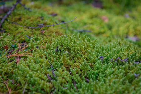 Wet green moss, close-up, selective focus. Natural plant background.