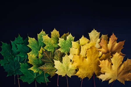 Green and yellow maple leaves laid out in row on black background. Autumn concept, color gradient, image for design with copy space. 版權商用圖片