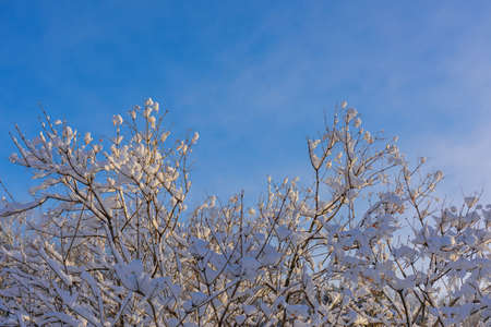 Tree branches covered with snow in the sunlight against blue sky. Christmas frosts. Winter background with copy space.