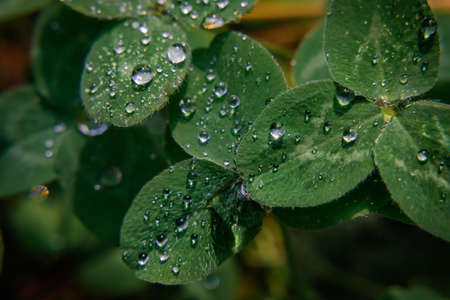 Close-up image of raindrops on three leaves clovers. Macro image green trefoil with drops of dew on petals. Saint patrick's holiday concept. 版權商用圖片