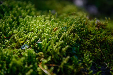 Soft green wet moss carpet the ground, selective focus. Grassy undergrowth in sunlight, close-up. Plant background. 免版税图像