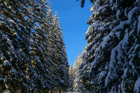 Shaggy fir trees covered with snow against clear blue sky on sunny winter day. Spruce branches under a thick layer of white snow. Copy space. 免版税图像