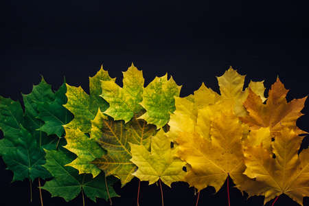 Green and yellow maple leaves laid out in row on black background. Autumn concept, color gradient, image for design with copy space. 免版税图像